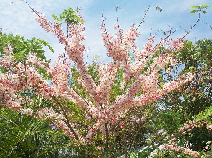อยกรู้ว่าต้นไม้ต้นนี้มีชื่อว่าอะไร มีแต่ต้นกับดอกไม่มีใบ มีดอกสีชมพู